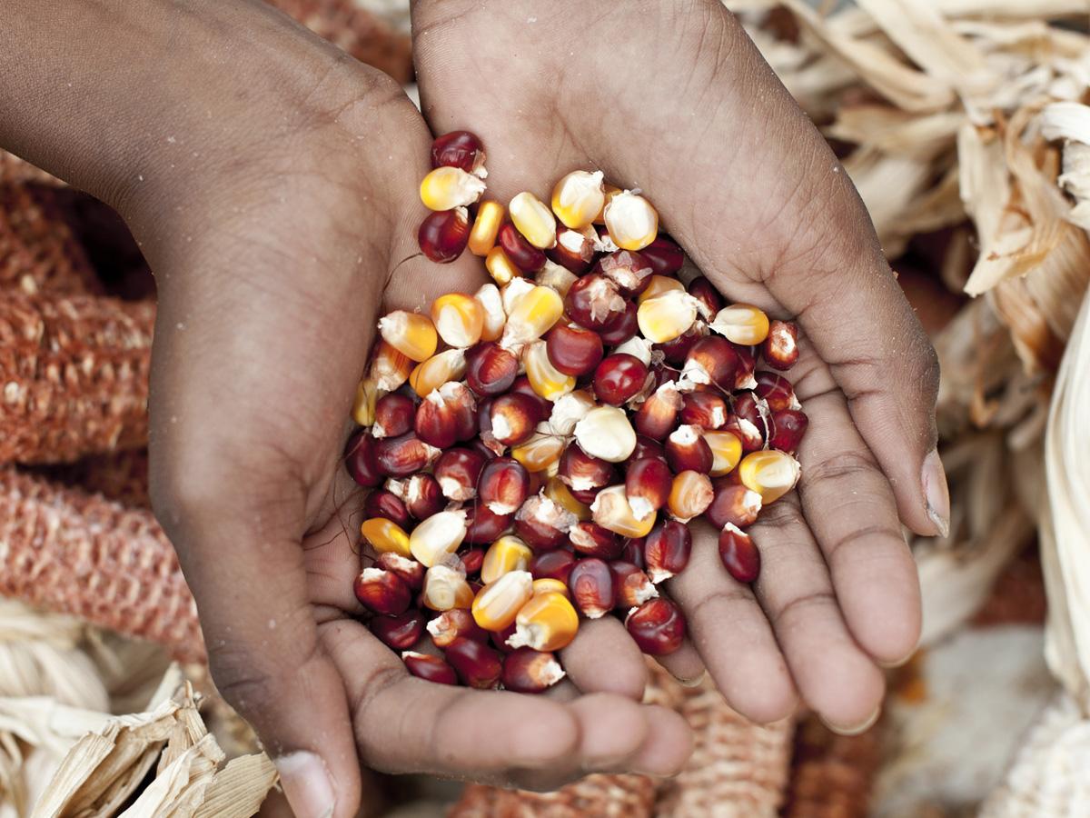Le maïs de Rodrigues