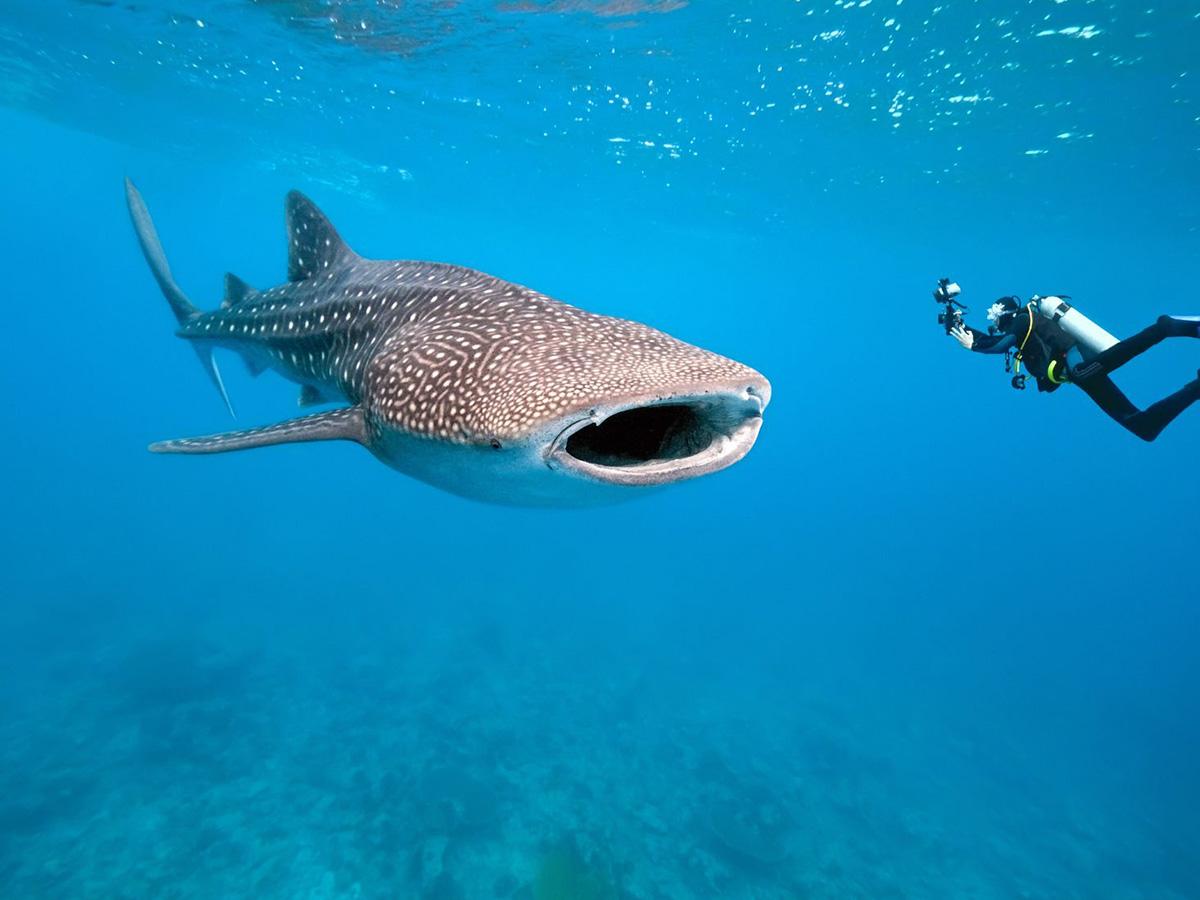 Plongée avec un requin baleine aux Maldives