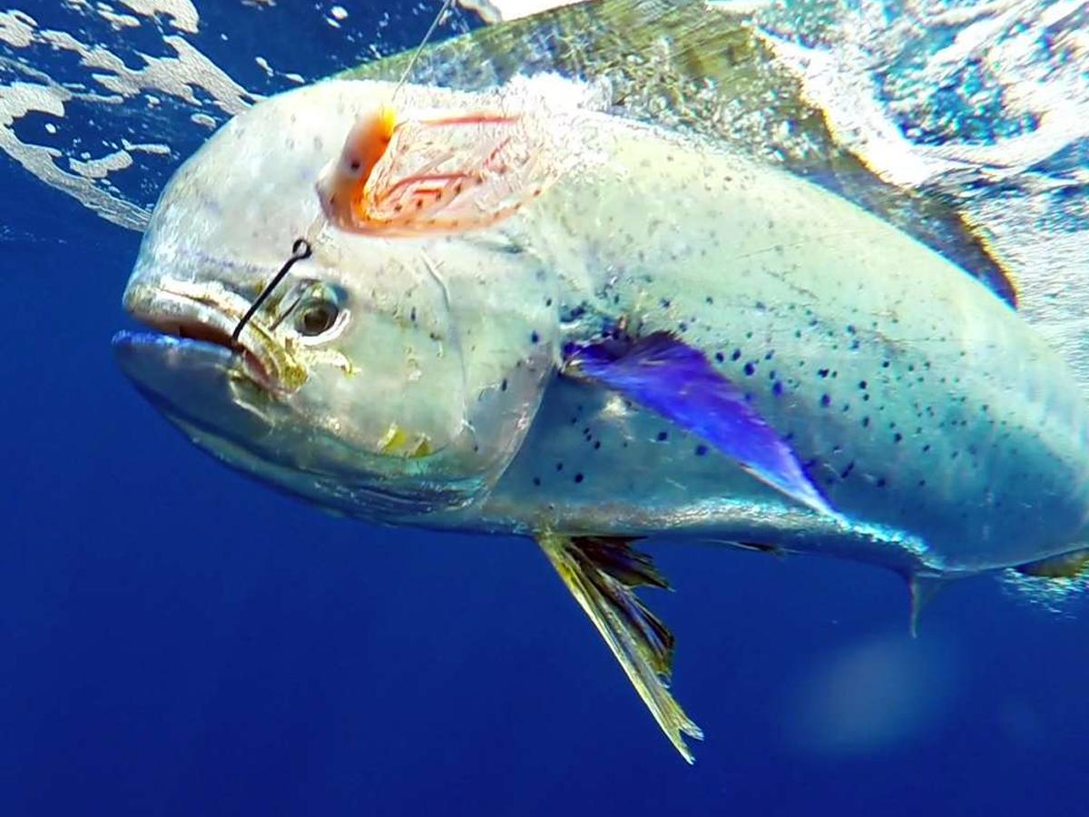 Dorade coryphène de 12.5kg prise en pêche à la traîne