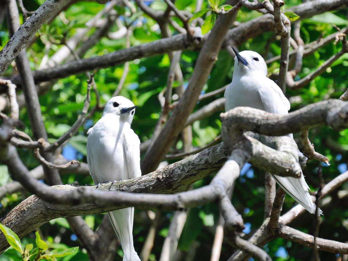 Les oiseaux de l'île aux Cocos